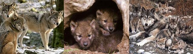Nuestro granito de arena para la campaña de protección del lobo de Demediterraning